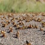 Une invasion de criquets à Madagascar, de cigales aux Etats-Unis