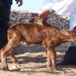 Essaouira : Une vache donne naissance à une velle à six pattes