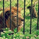 Sans doute le dernier lion de l'Atlas va s'eteindre au zoo d'Ain Sebaa