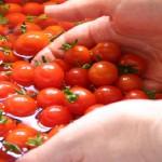 Alerte en Tchéquie sur les tomates cerises marocaines: Le Maroc s'innocente