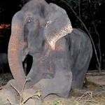 Torturé pendant 50 ans, un éléphant pleure à sa libération