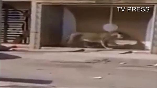 Vidéo: Deux lionnes en plein centre de Saïdia échappées de leur cage