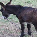 Un âne enragé sème la panique à Bouyafar