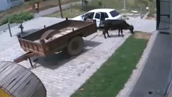 Ils volent une vache avec une petite voiture