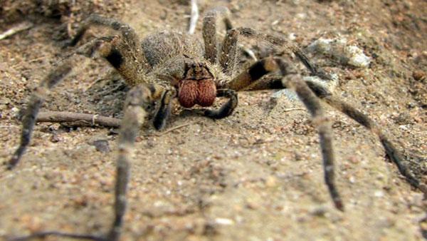 Une araignée mortelle dans les bananes bio