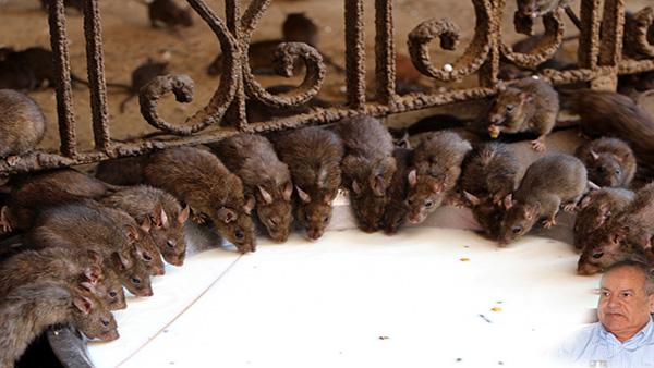 Des rats au parlement ?