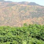 La recherche autour de la plante du cannabis fait son entrée dans les universités marocaines