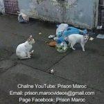 Rats et Chats Prison Oukacha Casablanca