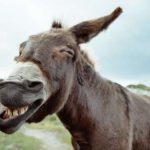 Un âne condamné par un tribunal de Larache