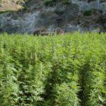 Cannabis et PIB marocain : Une économiste pointe les méthodes de calcul du département d'Etat