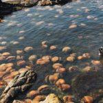 Des méduses géantes et venimeuses dans le littoral marocain