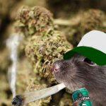 Des policiers suspendus après avoir prétendu que des souris ont mangé un stock de cannabis disparu